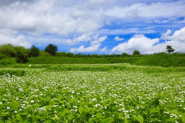 北海道音更町のそば畑